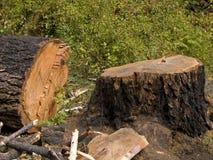 砍冷杉增长老结构树 免版税库存照片