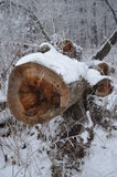 砍的树 库存图片