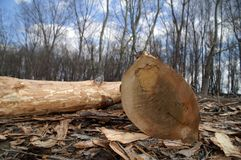 砍结构树 库存照片