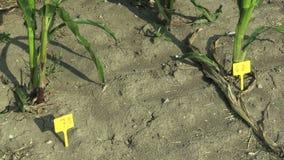 研究领域科学玉米玉米玉蜀黍属5月,天旱抵抗样品,助长基因修改的品种  股票视频