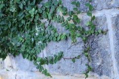砖墙用狂放的葡萄 葡萄酒有自然花卉框架的砖墙 免版税库存图片