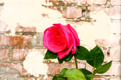 砖墙背景的罗斯 免版税库存照片