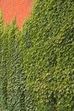 砖常春藤墙壁 库存照片