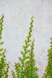 砖生长藤墙壁 免版税库存图片