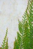 砖生长藤墙壁 图库摄影