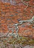 砖老根结构树墙壁 免版税库存照片