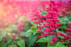 砰红色花在庭院里为情人节和愉快的天 免版税图库摄影