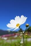 砰美好波斯菊的flawer 库存照片