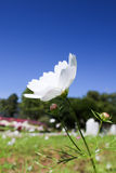 砰美好波斯菊的flawer 免版税库存照片