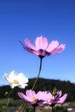 砰美好波斯菊的flawer 免版税库存图片