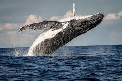 破坏男子气概的海滩,悉尼,澳大利亚的驼背鲸 免版税库存照片