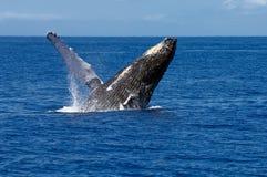 破坏驼背鲸 免版税库存照片
