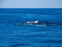 破坏鲸鱼,在蓝色海洋的驼背鲸尾巴 免版税库存照片