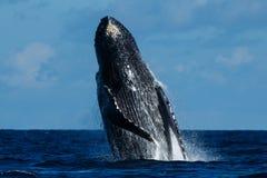 破坏frederick驼背声音sw鲸鱼的阿拉斯加 免版税库存图片