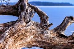 破旧的漂流木头withblue天空和水 免版税图库摄影