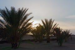破晓在撒哈拉大沙漠的枣椰子含沙沙漠绿洲  免版税图库摄影