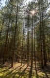 破裂通过森林的机盖的阳光 免版税库存照片