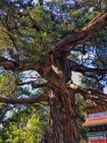 硕大结构树 免版税库存照片