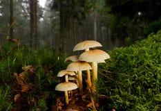 硫磺一束在青苔之间的一个森林里 免版税库存照片
