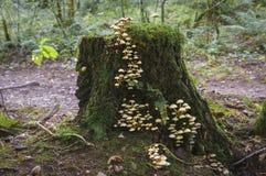 硫磺一束真菌 免版税库存照片