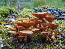 硫磺一束真菌 库存照片