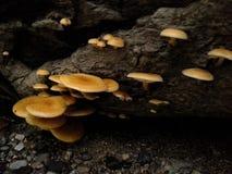 硫磺一束真菌 库存图片