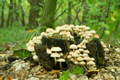 硫磺一束真菌(Hypholoma fasiculare) 免版税图库摄影