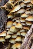 硫磺一束蘑菇(Hypholoma fasciculare) 免版税库存照片
