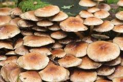 硫磺一束Hypholoma fasciculare群 免版税库存图片