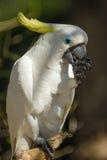 硫磺有顶饰美冠鹦鹉, Cacatua galerita 免版税库存图片