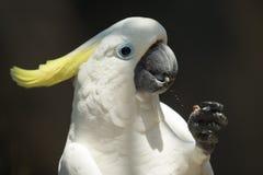硫磺有顶饰美冠鹦鹉, Cacatua galerita 库存照片