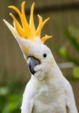 硫磺有顶饰美冠鹦鹉画象  免版税图库摄影