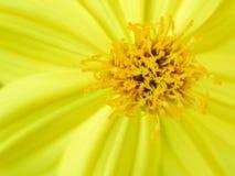 硫磺波斯菊或黄色波斯菊的花粉 免版税库存图片