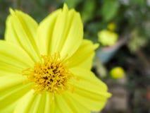 硫磺波斯菊或黄色波斯菊 免版税图库摄影