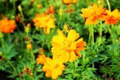 硫磺波斯菊橙色或黄色波斯菊是一朵黄色花,可以使用作为背景图象 库存图片