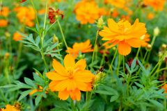 硫磺波斯菊橙色或黄色波斯菊是一朵黄色花,可以使用作为背景图象 免版税库存照片