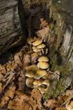 硫磺真菌 库存图片