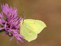 硫磺蝴蝶 库存照片