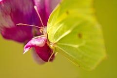 硫磺蝴蝶,在巢菜属植物花的Gonepteryx rhamni 库存照片