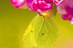 硫磺蝴蝶,在巢菜属植物花的Gonepteryx rhamni 免版税库存照片