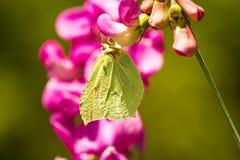硫磺蝴蝶,在巢菜属植物花的Gonepteryx rhamni 免版税图库摄影