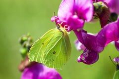 硫磺蝴蝶,在花的Gonepteryx rhamni 免版税图库摄影