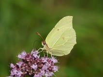 硫磺蝴蝶 库存图片