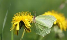 硫磺蝴蝶& x28; Gonepteryx rhamni & x29;在蒲公英花& x28; Taraxacum& x29; 免版税库存图片