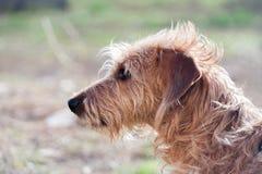 硬毛的达克斯猎犬在庭院里 免版税库存图片