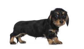 硬毛超级逗人喜爱的微型的达克斯猎犬,隔绝在白色背景 库存图片