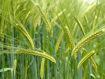 硬粒小麦领域绿色麦子 库存照片