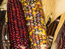 硬粒玉米 库存图片
