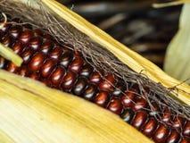 硬粒玉米 免版税库存照片