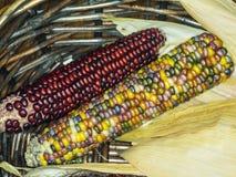 硬粒玉米 免版税库存图片